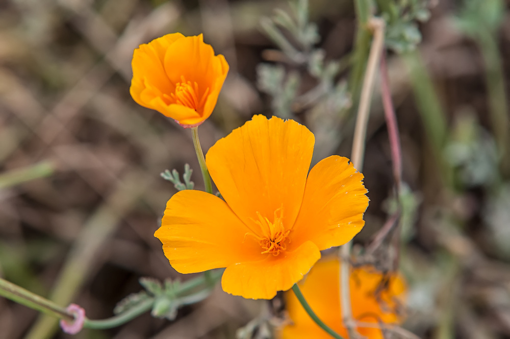 Usually a bright yellow, there is some color variation in California poppies where some of them can be the brightest orange imaginable.