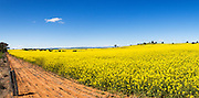 Flowering canola crop in farm paddock under blue sky at Junee, New South Wales, Australia. <br />