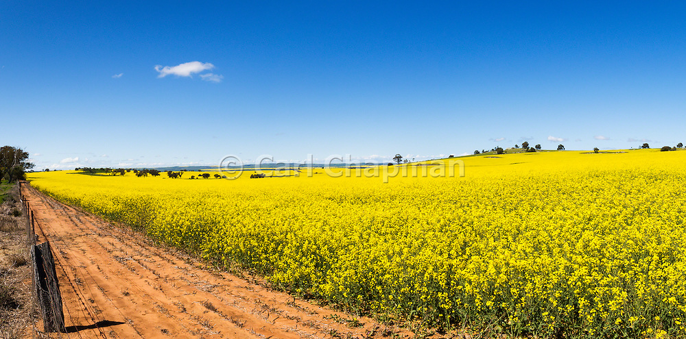 Flowering canola crop in farm paddock under blue sky at Junee, New South Wales, Australia.