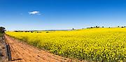 Flowering canola crop in farm paddock under blue sky at Junee, New South Wales, Australia.