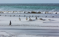 Magellanic Penguins (Spheniscus magellanicus) and Kelp Gulls share a windswept sandy beach on Saunders Island.  Falkland Islands, South America