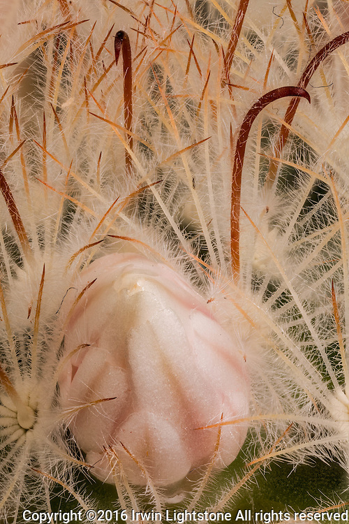 Contrast between feather spine, viscious hooked spines and flower bud.  Hi resolution digital composite  using focus stacking process.