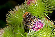 Tree Bumblebee - Bombus hypnorum - queen feeding on Burdock.