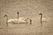 Trumpeter Swans (Cygnus buccinator) on the water in the Ridgefield National Wildlife Refuge, Washington.