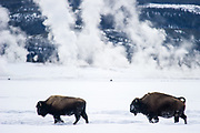Two American bison (Bison bison) walking in winter landscape with geyser in the background in Yellowstone National Park