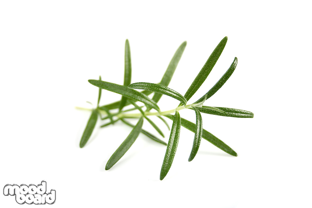 Studio shot of fresh rosemary