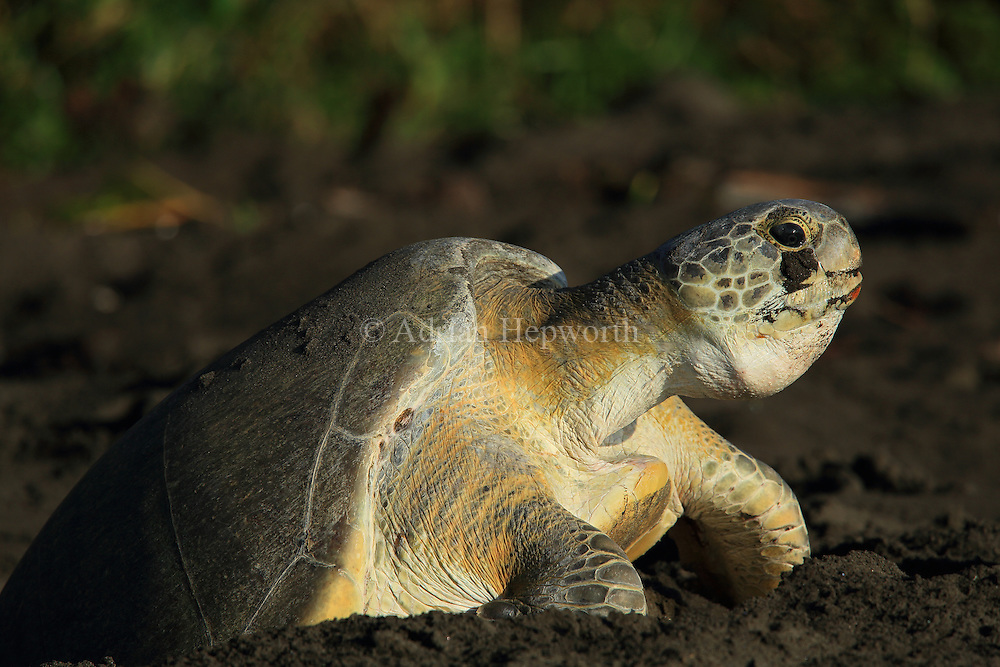 Female green turtle (Chelonia mydas) climbing out of her nest hole in the early morning in Tortuguero National Park, Costa Rica.