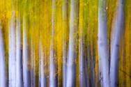 Close-up of aspen grove with fall colored foliage, near Steamboat Springs, CO