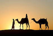 A desert safari is an exhilarating way of discovering Dubais natural beauties. Camel ride at sunset. Dubai Conservation Desert Reserve. Camels are a way of transportation, and are also used for racing at the popular Dubai Camel Racecourse. Dubai. United Arab Emirates.<br />