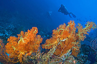 Brilliant Orange Soft Corals and Divers