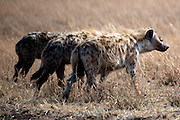 A trio of hyenas after stealing a meal from a family of cheetahs.