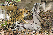 Bengal Tiger<br /> Panthera tigris <br /> Eight week old cubs suckling at den<br /> Bandhavgarh National Park, India
