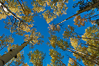 Looking Up. Autumn Aspen Forest in Colorado. Image taken with a Nikon 1 V2 camera and 6.7-13 mm VR lens (ISO 160, 6.7 mm, f/8, 1/320 sec)