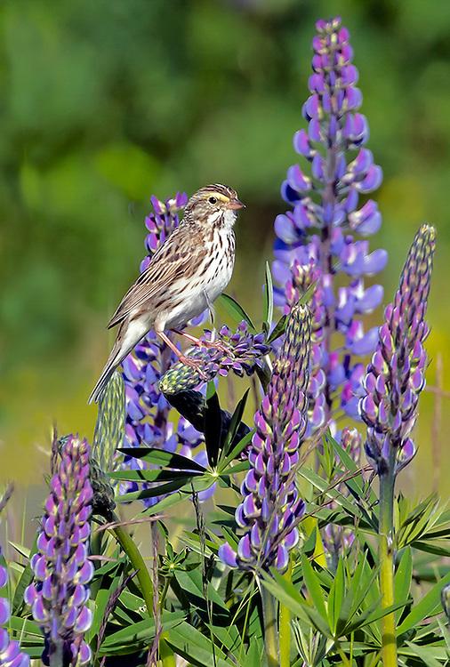 Alaska. Savannah Sparrow (Passerculus sandwichensis) on Nootka Lupine (Lupinus nootkatensis), Seward.