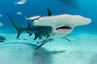 Great Hammerhead Shark<br /> <br /> Shot in Bimini, Bahamas