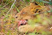 A lioness chews on what is left of a warthog kill, framed by bushes.  Tight profile portrait.