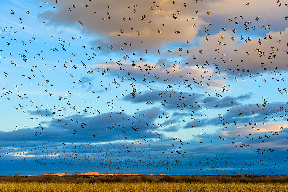 Flocks of ducks fill the sky flying in to feed in newly cut refuge corn field at last light; Bosque del Apache NWR., NM