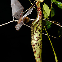 Hardwicke's Woolly Bat (Kerivoula hardwickii) at a pitcher of Nepenthes hemsleyana (N. baramensis) where it roosts. Photographed in flight tent.