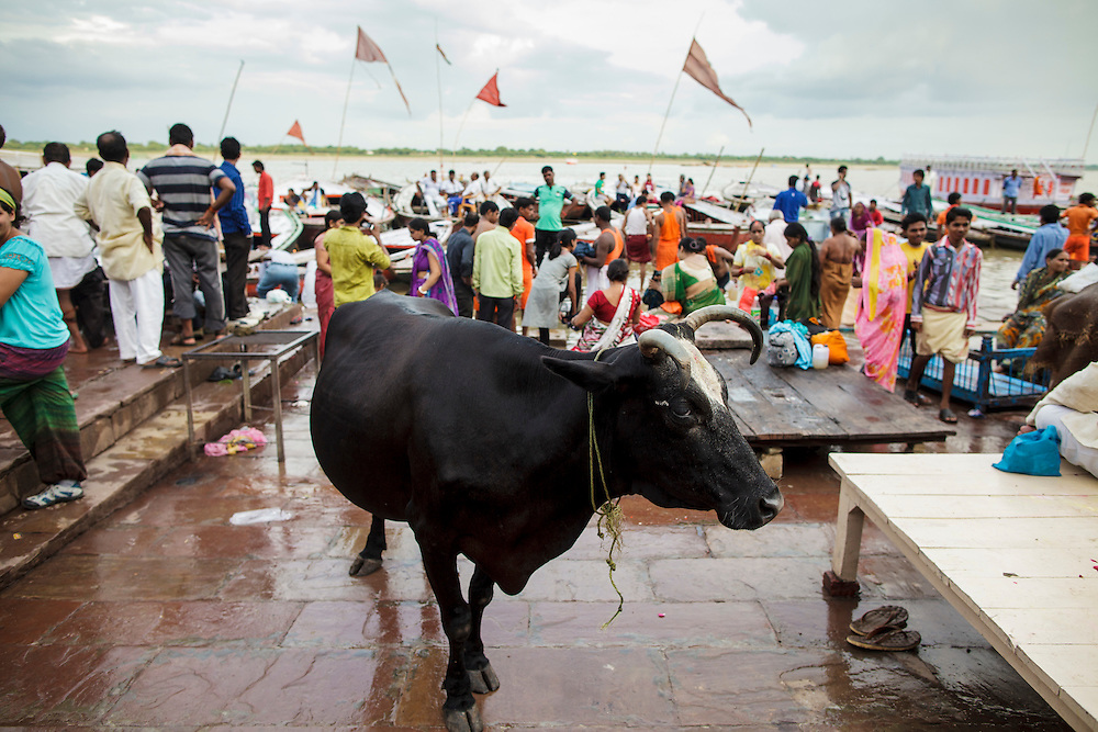 A cow at Dashashwamedh Gath near Ganges River in Varanasi, India.