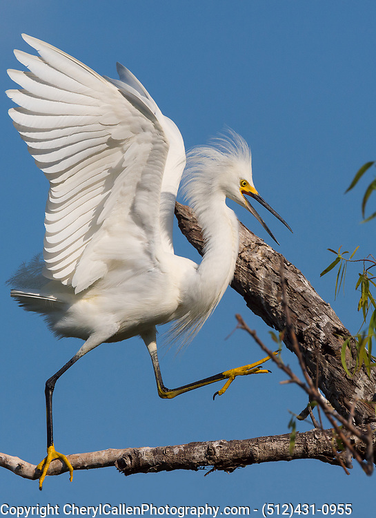 Snowy Egret being territorial