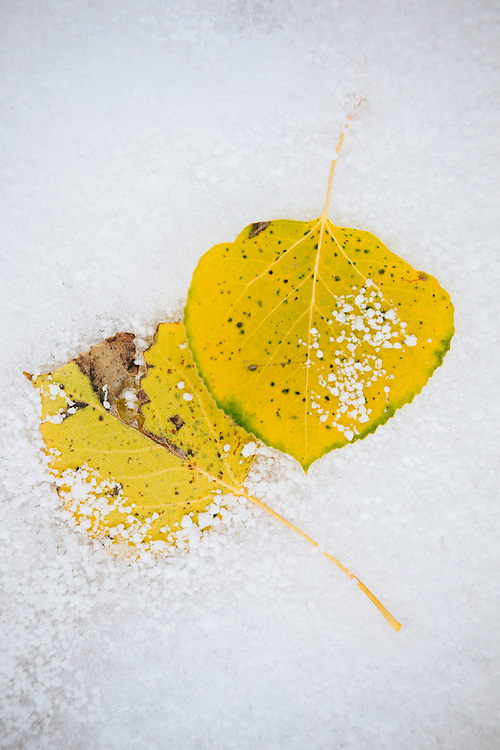 Frost and snow covered aspen leaves on the ground in Wyoming at the beginning of winter.