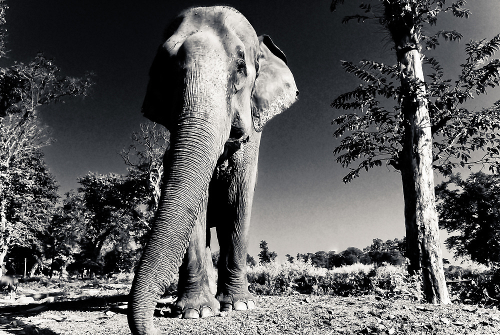 Indian elephant, Chilapata forest, north Bengal. The area is the frontline of a growing conflict between elephants and humans which claims the lives of about 400 people a year in India.
