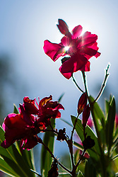 Red Oleander Flowers against Blue Sky