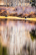 Two bull moose work their way along the lakeshore of Two Ocean Lake in Grand Teton National Park.  A fine autumn reflection of aspens spices up the landscape.