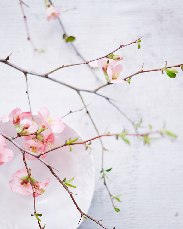 Still Life of Quince Blossoms