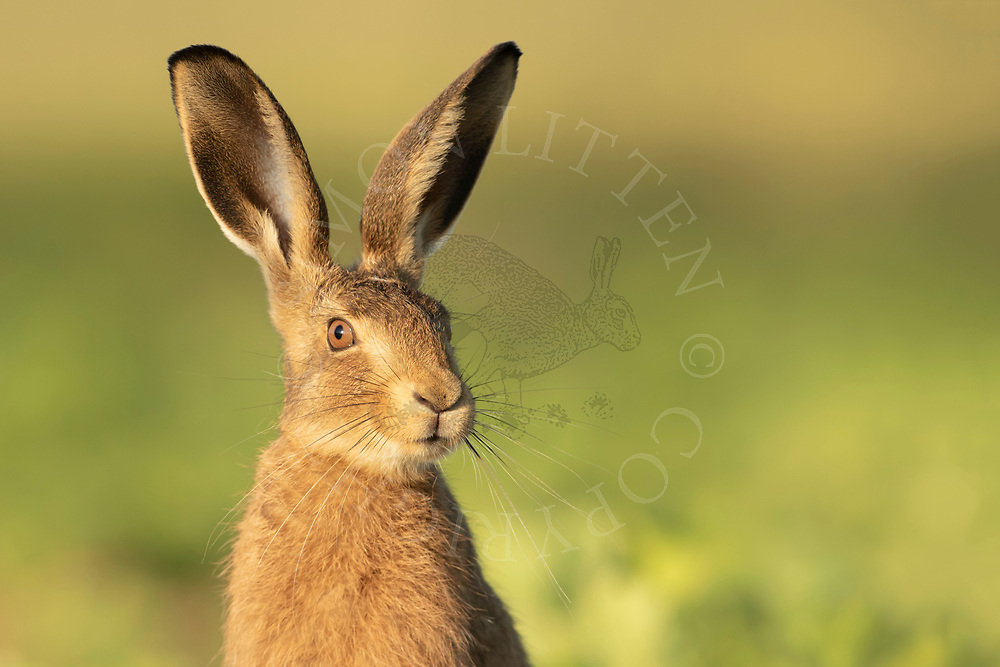 European Hare (Lepus europaeus) juvenile, close up of head in sugar beet crop, South Norfolk, UK. June.
