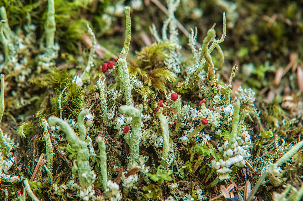 A common club lichen, the Lipstick Cladonia is named after the bright red apothecia or fruiting bodies that make this silvery-gray lichen stand out. Found usually on conifers and decaying trees, this one was photographed on the banks of the South Fork Snoqualmie River.