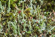 Club Lichens