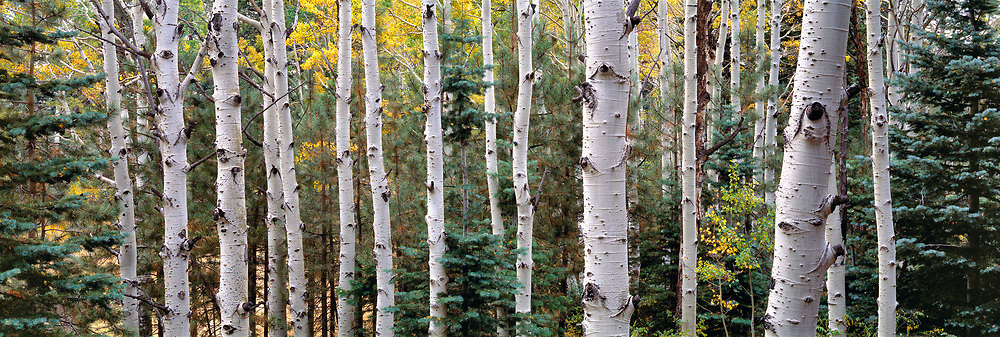 Quaking aspen and blue spruce trees thrive on the Kaibab Plateau, on the north rim of the Grand Canyon, in Arizona.