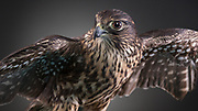 "Merlin Falcon (Falco columbarium). Cassie is a female ""Taiga"" morph,  who had a broken wing that has never healed properly."