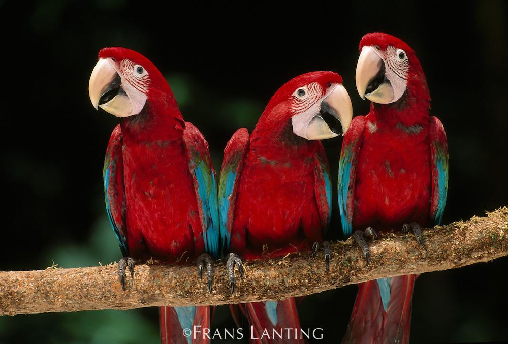 Red-and-green macaw juveniles, Ara chloroptera, Manu National Park, Peru