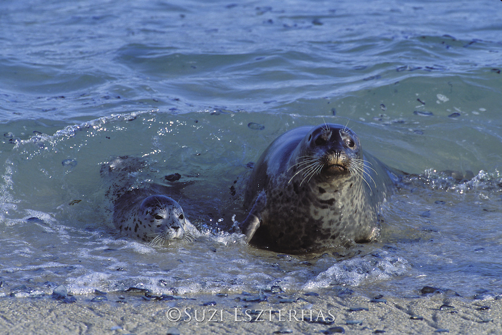 Harbor Seal<br /> Phoca vitulina<br /> Mother and pup coming ashore<br /> Monterey Bay, CA