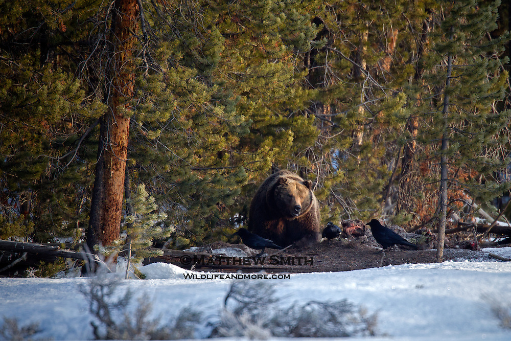 Grizzly Bear in Grand Teton National Park guards a carcass.
