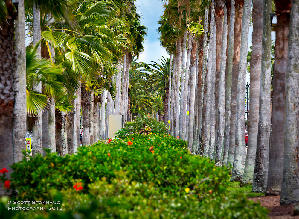 A row of palm trees line Venice Ave in Venice, Florida.