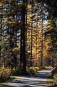 Western larch in fall at Whitetail Campground. Yaak Valley Montana