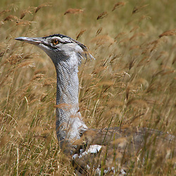 Kori Bustard between the grass in Ngorogoro crater, Tanzania.