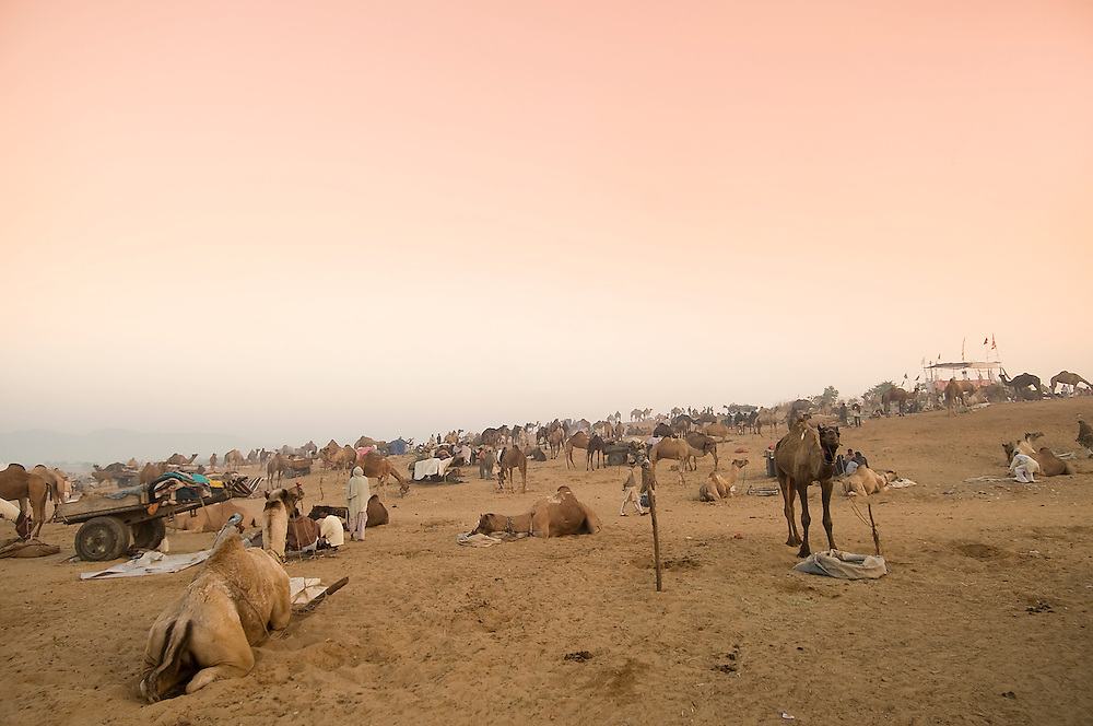 Camels and Rajasthani men at the camel fair ground in Pushkar which lies in the Thar desert, Rajasthan (India)