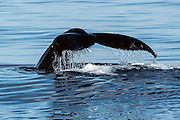 A Humpback Whale, Megaptera novaeangliae, shows its fluke or tail, as it prepares to dive offshore Pico Island, Azores, Portugal, North Atlantic Ocean.