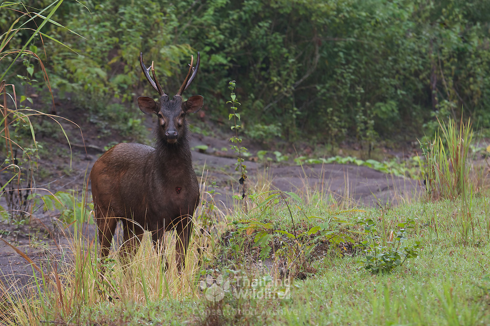 Sambar deer stag at Phu Khieo Wildlife Sanctuary, Thailand. The Sambar (Rusa unicolor) is the largest of the deer family to habit Thailand.