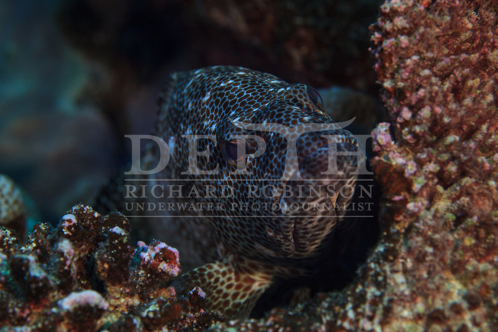 Epinephelus merra (Dwarf Spotted Grouper) also known as the Honeycomb grouper or dwarf spotted rockcod at Palmerston Atoll in the Cook Islands.<br /> Saturday 03 January 2015<br /> Photograph Richard Robinson &copy; 2015