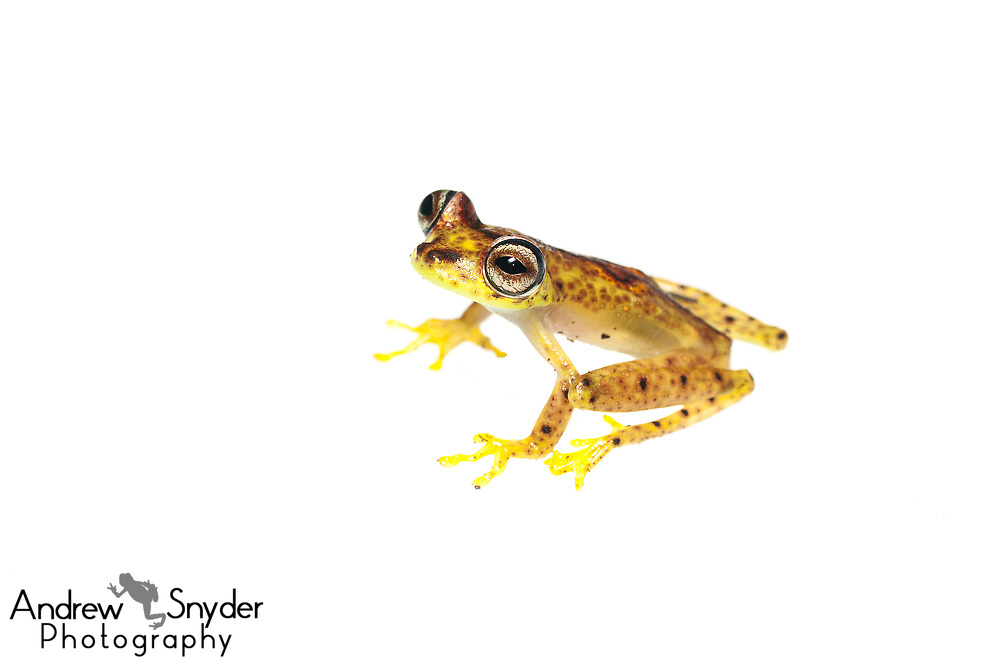 Ornate Tree frog, Hypsiboas ornatissimus, Chenapau, Guyana, March 2014