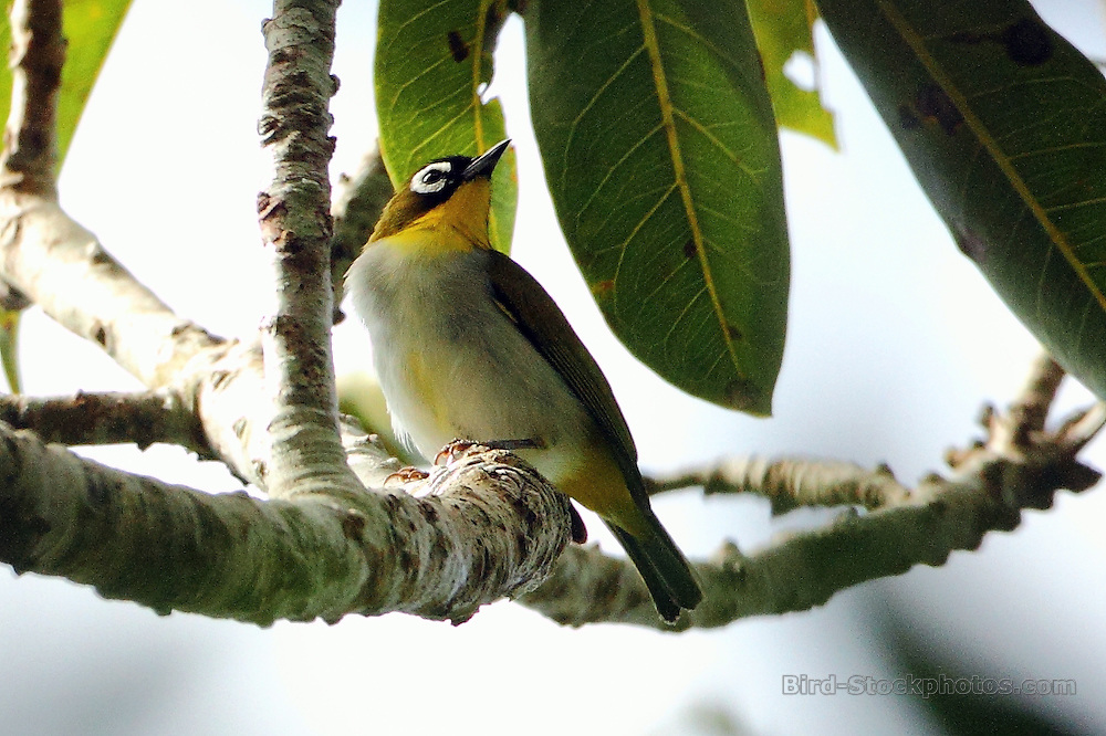 Black-fronted White-eye, Zosterops minor, Papua New Guinea, by Markus Lilje