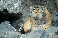 Pallas's Cat, Manul (Otocolobus manul or Felis manul), Asia Image by Andres Morya