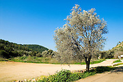 Lone Olive tree Photographed in Galilee, Israel