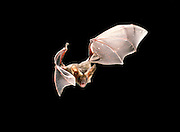 A wild Pallid bat (Antrozous pallidus) flying at night in the Rogue River National Forest, Oregon.<br /> (Please Note: This image has been digitally re-touched, it has been cropped and a piece of photographic equipment has been removed.)