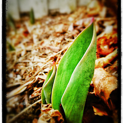 "A tulip pokes through leaves in Portsmouth, New Hampshire. iPhone photo - suitable for print reproduction up to 8"" x 12""."